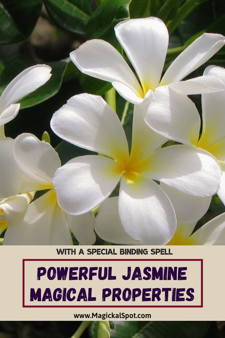 Powerful Jasmine Magical Properties by MagickalSpot