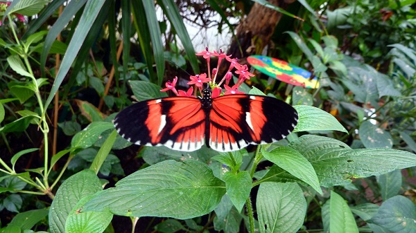 red buttefly
