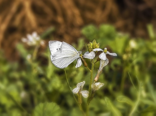 white-butterfly