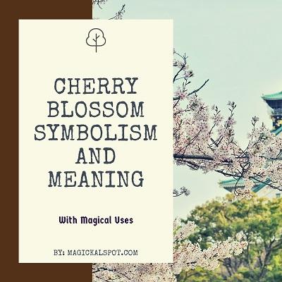 Japanese Cherry Blossom Symbolism And Meaning Sakura Tree