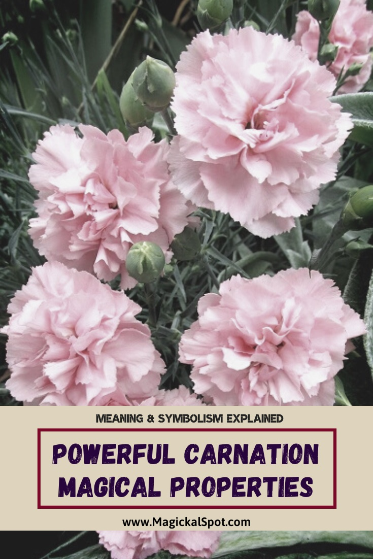 Powerful Carnation Magical Properties by MagickalSpot